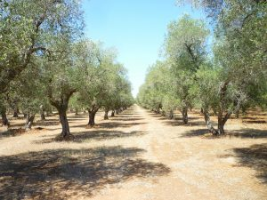 huile-dolive-aop